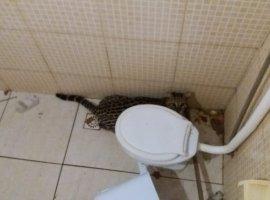 [Jaguatirica é encontrada dentro de banheiro de igreja]