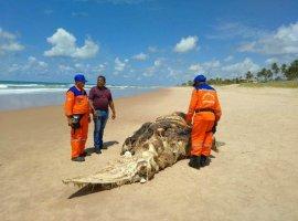 [Filhote de baleia é encontrado em estado de decomposição em praia de Camaçari]
