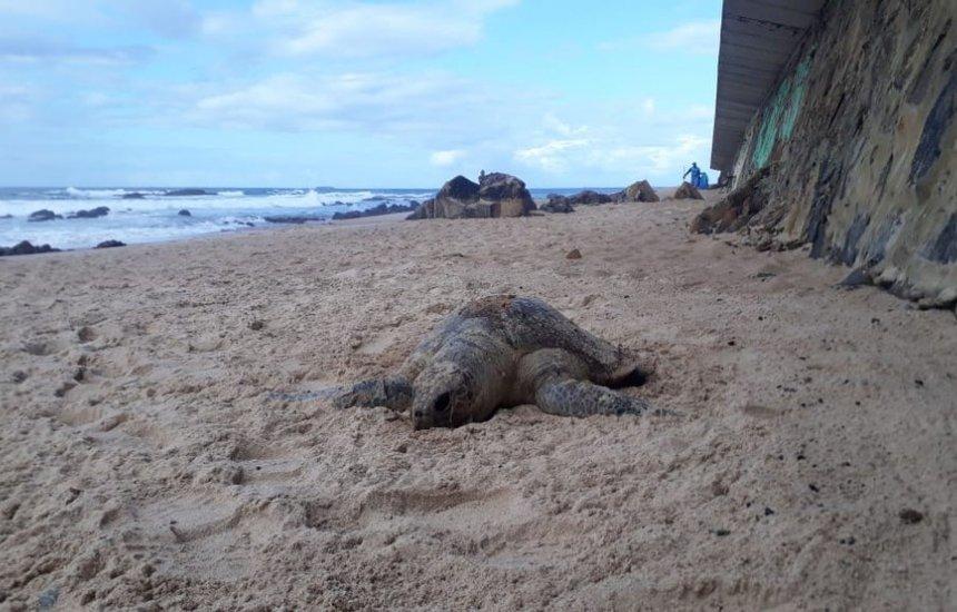 [Tartaruga é encontrada morta em praia de Ondina, em Salvador]