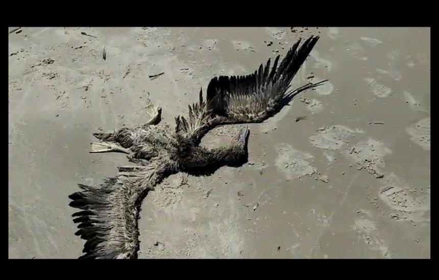 [Ave da espécie 'Atobá-Marrom' é encontrada morta em praia de Ilhéus]