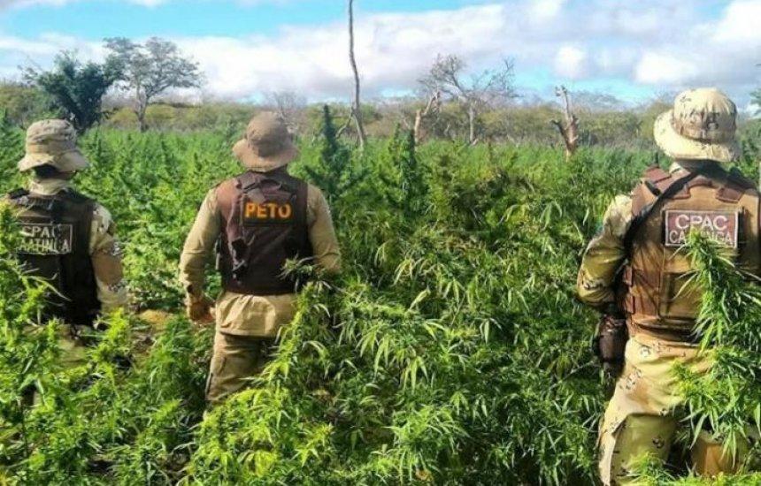 [Polícia destrói plantação com 76 mil pés de maconha na Bahia]