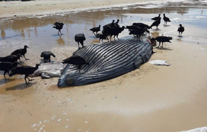 Filhote de baleia jubarte é encontrado morto na praia de Ponta Grande