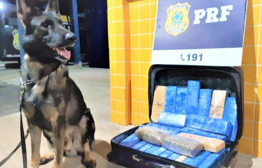 [Cães da PRF encontram 22 kg de maconha em bagagens de passageiros na Bahia]